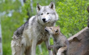 lupo mamma cucciolo