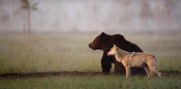 Orsi e lupi